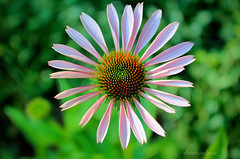 Purple Coneflower photo by dorameulman