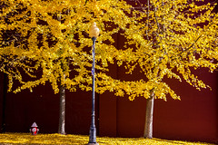 Yellow Leaves photo by yogagi
