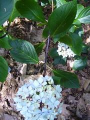 H. macrophylla 'Kuro Jiku'= 'Nigra'