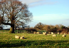 English Idyll (sheep may safely graze) photo by Speed of Light [2]