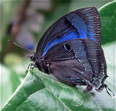 Black and blue butterfly photo by Tony Borrach