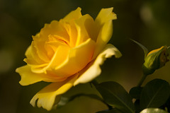 Yellow rose photo by Anna Calvert Photography