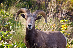 Big Horn Sheep 11 photo by LongInt57
