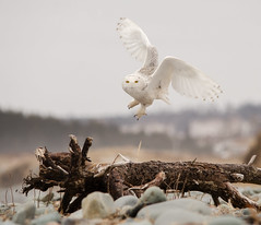Snowy Owl - Just the Two of Us photo by PeterBrannon