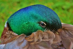 Male Mallard Duck photo by Paula J James