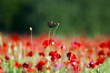 Papaver rhoeas photo by danilo.rizzetto