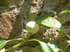 H. integrifolia bouton