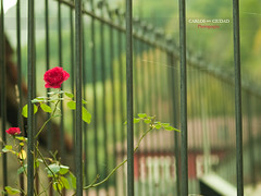 Rose in the fence photo by cctrilla