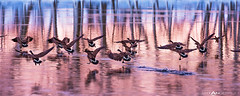 Geese Taking Flight by Matt Anderson photo by Matt Anderson Photography