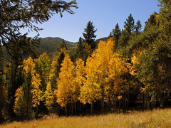Golden Aspen Trees photo by Batikart