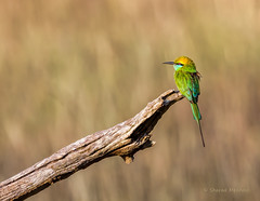 Green Bee Eater in the Bandipur forest photo by Sharad Medhavi