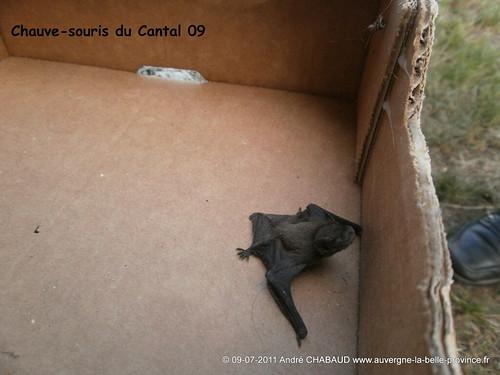Chauve-souris du Cantal 09