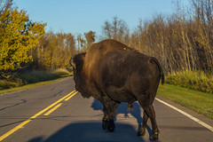 Why'd The Bison Cross The Road... photo by murph le