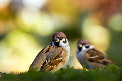 autumn sparrows photo by tubasa-wings