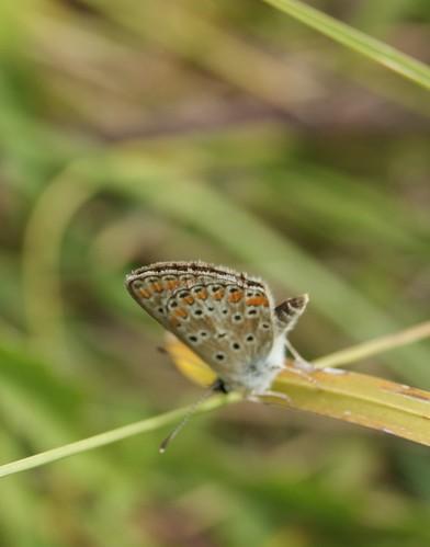 papillon Argus de la bugrane ou Argus bleu ou Polyommatus icarus