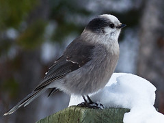 Gray Jay in winter photo by annkelliott