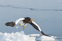 Steller's sea eagle, Hokkaido photo by Susanna Chan