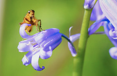 Fly on Bluebell photo by riggy-riggo