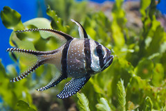 Banggai Cardinalfish photo by Keith in Exeter