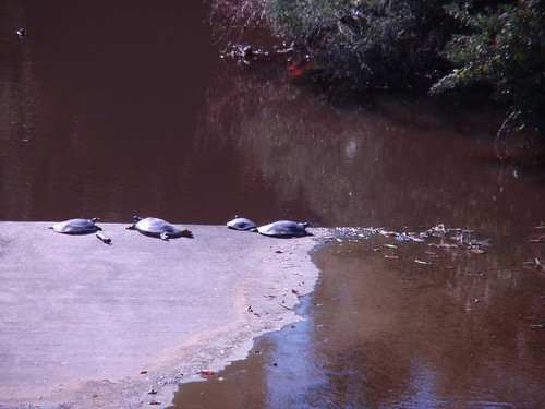 Turtles at Wolf Pen Creek