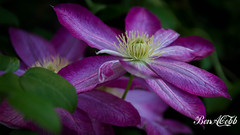 Clematis photo by Ben A Cobb Photo
