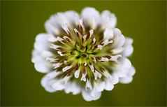 White Clover photo by Wilf41