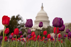 Tulips at the US Capitol photo by ianseanlivingston