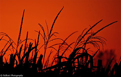Sunset on a corn field / Coucher de soleil sur un champ de maïs / Puesta de sol en un campo de maiz photo by PULLKATT 2 EXPOS ON RED DAY