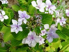 H. macrophylla 'Shamrock'='Etoile Violette' (2)