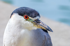 Black Crowned Night Heron photo by Kartik J