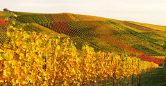 Autumn Vineyard photo by Habub3