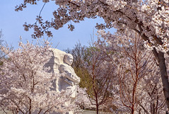 Photo by Krsna captures cherry blossoms surrounding the Martin Luther King, Jr. Memorial in Washington, D.C. photo by Flickr