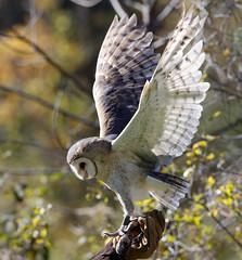 "Barn Owl ""Nina""  (captive)  balancing on glove at the Raptor Trust  {EXPLORED!!!  Thank you!!!} photo by Mawrter"