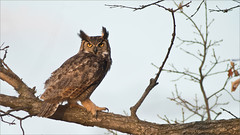 Great Horned Owl Perched photo by Raymond J Barlow