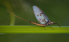 Mayfly photo by Tore Thiis Fjeld