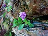 Primevère farineuse,Primula farinosa (ou halleri)