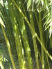 Phyllostachis Prominens