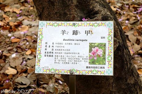 06_台南公園羊蹄甲