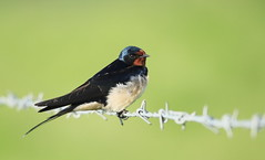 Barn Swallow photo by themadbirdlady - anne cotton