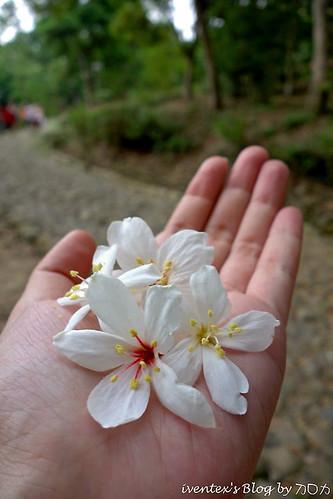 06_2014雲林縣古坑荷苞山客家桐花祭