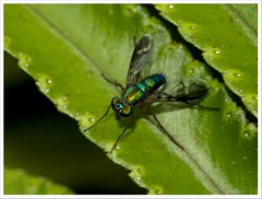 Long-legged fly photo by yanwym
