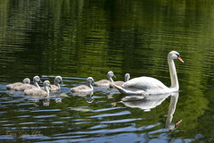 Swan with cygnets Explore 29 March 2014 photo by gideonc - Thank you for the 1,000,000+ views