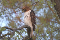 Young Red-Tailed Hawk photo by rkramer62