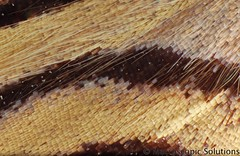 Butterfly wing scales callicore_hystaspes_perigrinata_butterfly_peru photo by Macroscopic Solutions