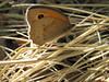 papillon Le Myrtil-Maniola  jurtina
