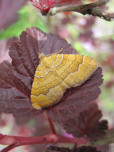 papillon Camptogramma bilineata