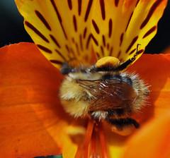 Bee in macro photo by littlestschnauzer
