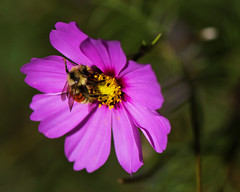 Honeybee on Cosmo Flower Reprise photo by XSNRG27
