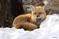 Renard roux / Red Fox photo by Yves Déry