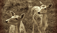 curious deers photo by Sky_PA